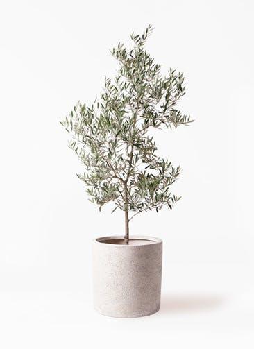 観葉植物 オリーブの木 10号 ピクアル サンディ シリンダー 白 付き