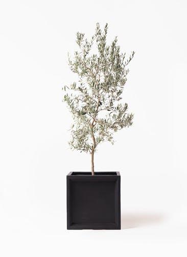 観葉植物 オリーブの木 10号 バロウニ ブリティッシュキューブ 付き