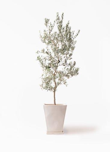 観葉植物 オリーブの木 10号 バロウニ スクエアハット 白 付き