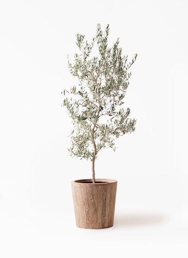 観葉植物 オリーブの木 10号 バロウニ ウッドプランター 付き