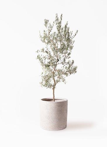 観葉植物 オリーブの木 10号 バロウニ サンディ シリンダー 白 付き