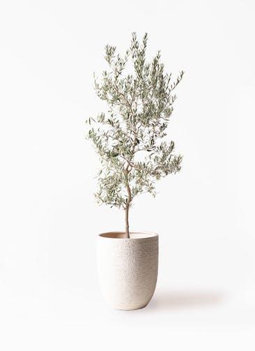 観葉植物 オリーブの木 10号 バロウニ ビアスアルトエッグ 白 付き