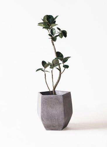 観葉植物 フィカス バーガンディ 8号 曲り ファイバークレイ Gray 付き