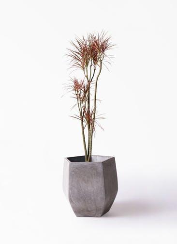 観葉植物 ドラセナ コンシンネ レインボー 8号 ストレート ファイバークレイ Gray 付き