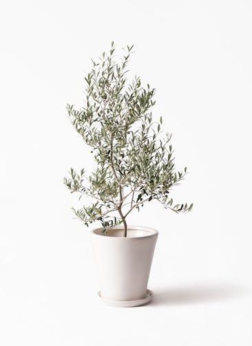 観葉植物 オリーブの木 8号 アルベキーナ サブリナ 白 付き