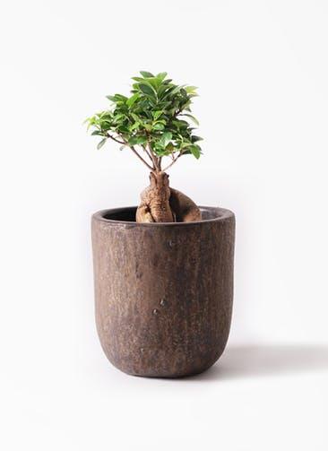 観葉植物 ガジュマル 6号 股仕立て ビトロ ウーヌム コッパー釉 付き