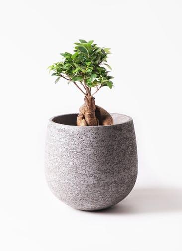 観葉植物 ガジュマル 6号 股仕立て エコストーンGray 付き