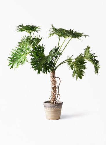 観葉植物 セローム ヒトデカズラ 8号 根あがり アルマ コニック 白 付き