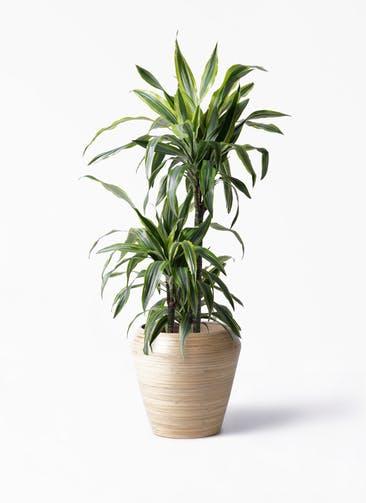 観葉植物 ドラセナ ワーネッキー レモンライム 8号 アルマ ミドル 付き