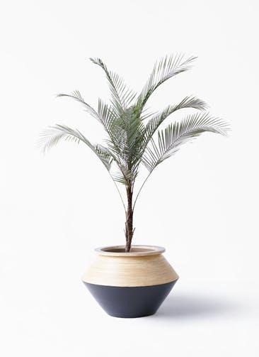 観葉植物 ヒメココス 8号 アルマジャー 黒 付き