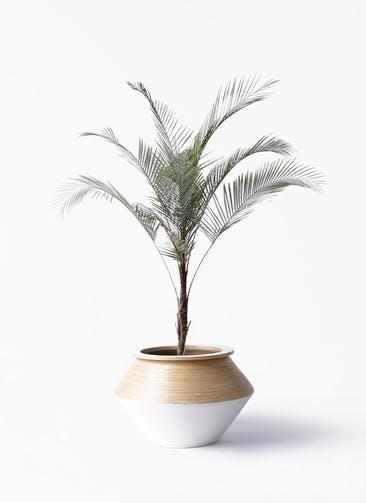 観葉植物 ヒメココス 8号 アルマジャー 白 付き