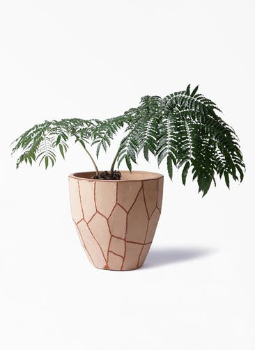 観葉植物 リュウビンタイ 8号 ウィスク 付き