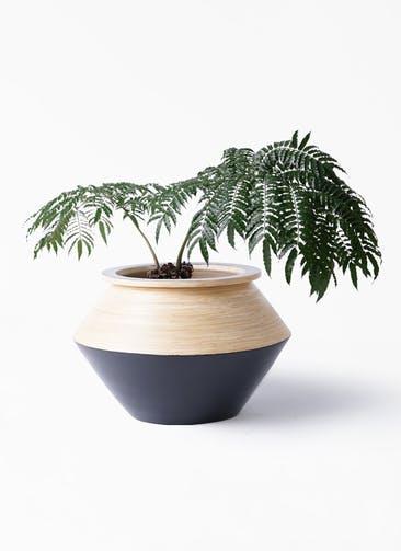 観葉植物 リュウビンタイ 8号 アルマジャー 黒 付き