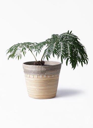 観葉植物 リュウビンタイ 8号 アルマ コニック 白 付き