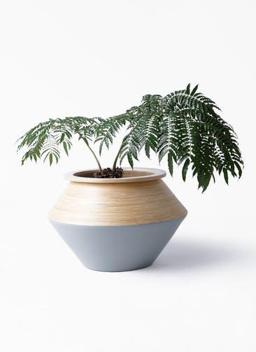 観葉植物 リュウビンタイ 8号 アルマジャー グレー 付き