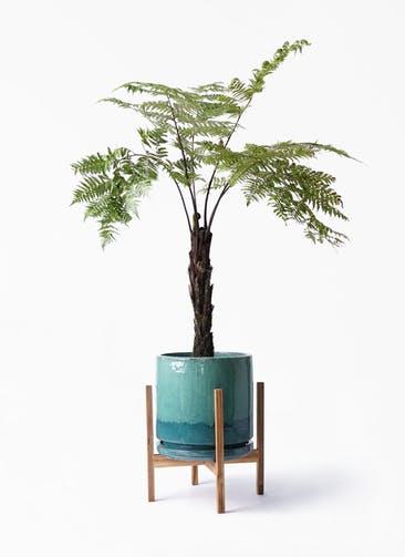 観葉植物 ヘゴ 8号 ビトロ エンデガ ターコイズ ウッドポットスタンド付き