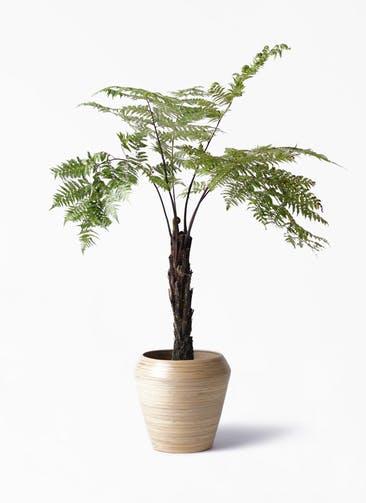 観葉植物 ヘゴ 8号 アルマ ミドル 付き