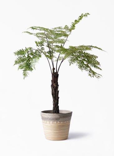 観葉植物 ヘゴ 8号 アルマ コニック 白 付き