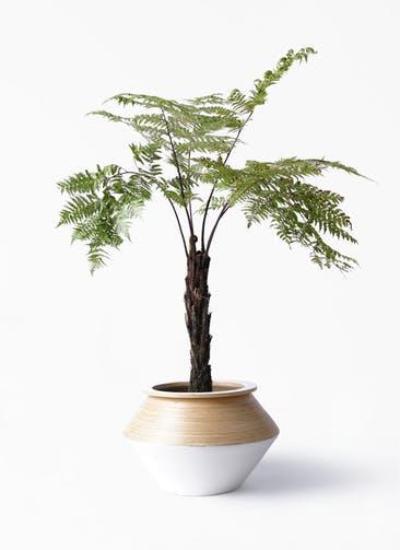 観葉植物 ヘゴ 8号 アルマジャー 白 付き