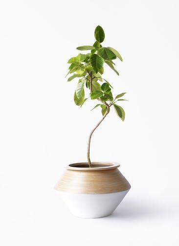観葉植物 フィカス アルテシーマ 8号 曲り アルマジャー 白 付き