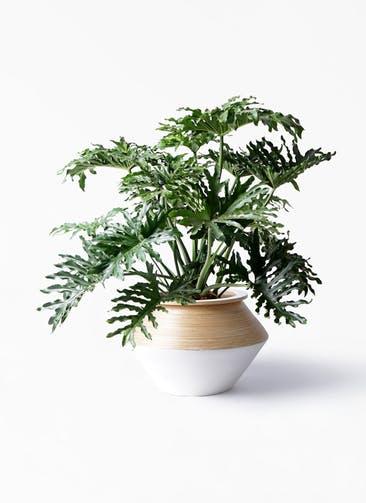 観葉植物 セローム ヒトデカズラ 8号 ボサ造り アルマジャー 白 付き