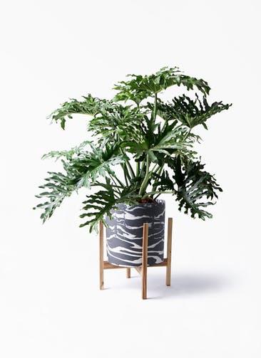 観葉植物 セローム ヒトデカズラ 8号 ボサ造り ホルスト シリンダー マーブル ウッドポットスタンド付き