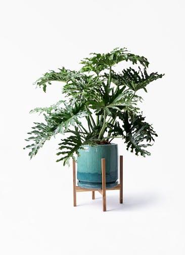 観葉植物 セローム ヒトデカズラ 8号 ボサ造り ビトロ エンデガ ターコイズ ウッドポットスタンド付き