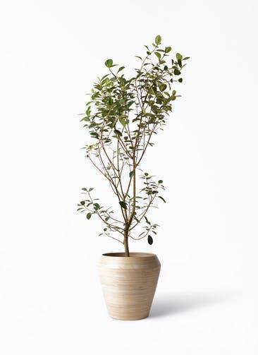 観葉植物 フランスゴムの木 10号 ノーマル アルマ ミドル 付き