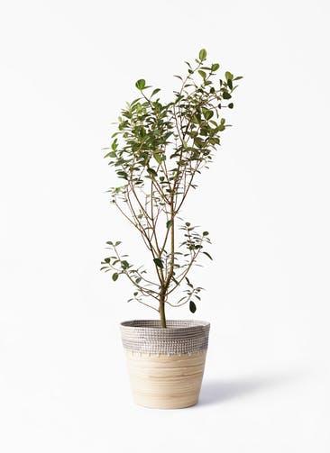 観葉植物 フランスゴムの木 10号 ノーマル アルマ コニック 白 付き