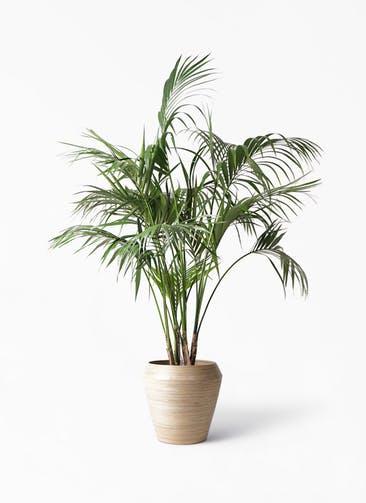 観葉植物 ケンチャヤシ 10号 アルマ ミドル 付き