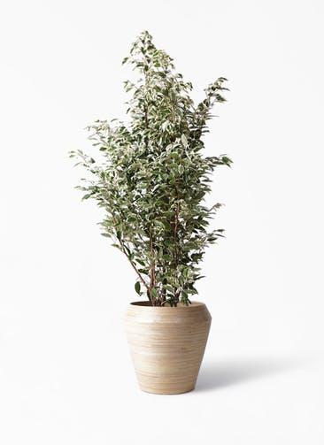 観葉植物 フィカス ベンジャミン 10号 スターライト アルマ ミドル 付き