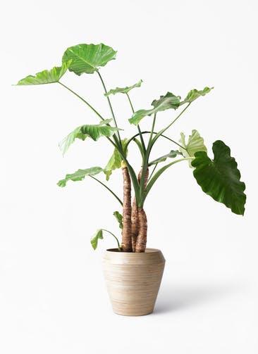観葉植物 クワズイモ 10号 アルマ ミドル 付き