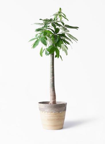 観葉植物 パキラ 10号 朴 アルマ コニック 白 付き