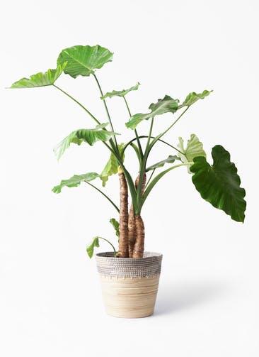 観葉植物 クワズイモ 10号 アルマ コニック 白 付き