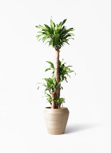 観葉植物 ドラセナ 幸福の木 10号 ノーマル アルマ ミドル 付き