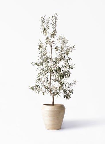 観葉植物 オリーブの木 10号 ワンセブンセブン アルマ ミドル 付き