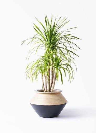 観葉植物 ドラセナ カンボジアーナ 8号 アルマジャー 黒 付き