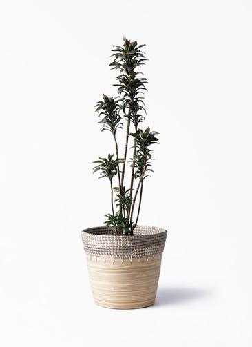 観葉植物 ドラセナ パープルコンパクタ 8号 アルマ コニック 白 付き