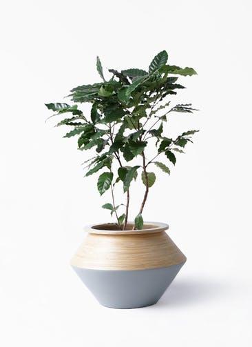 観葉植物 コーヒーの木 8号 アルマジャー グレー 付き