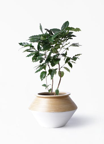 観葉植物 コーヒーの木 8号 アルマジャー 白 付き