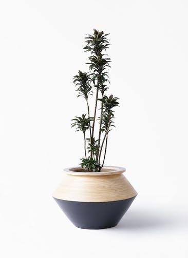 観葉植物 ドラセナ パープルコンパクタ 8号 アルマジャー 黒 付き