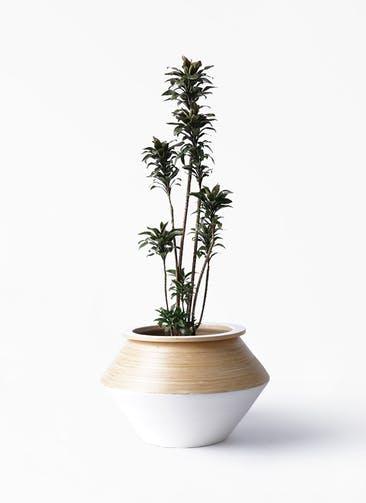 観葉植物 ドラセナ パープルコンパクタ 8号 アルマジャー 白 付き