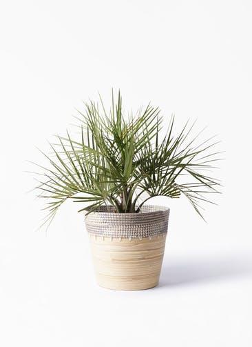 観葉植物 ココスヤシ (ヤタイヤシ) 10号 アルマ コニック 白 付き