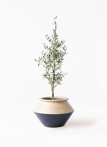 観葉植物 オリーブの木 8号 コロネイキ アルマジャー 黒 付き
