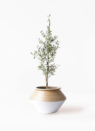観葉植物 オリーブの木 8号 コロネイキ アルマジャー 白 付き
