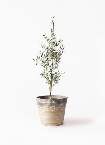 観葉植物 オリーブの木 8号 コロネイキ アルマ コニック 白 付き