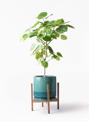観葉植物 フィカス ウンベラータ 8号 ノーマル ビトロ エンデガ ターコイズ ウッドポットスタンド付き