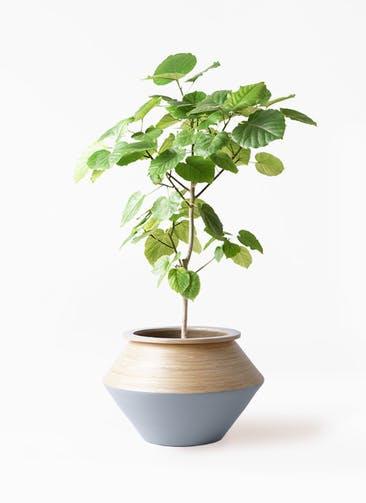観葉植物 フィカス ウンベラータ 8号 ノーマル アルマジャー グレー 付き