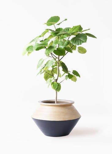 観葉植物 フィカス ウンベラータ 8号 ノーマル アルマジャー 黒 付き