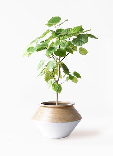 観葉植物 フィカス ウンベラータ 8号 ノーマル アルマジャー 白 付き